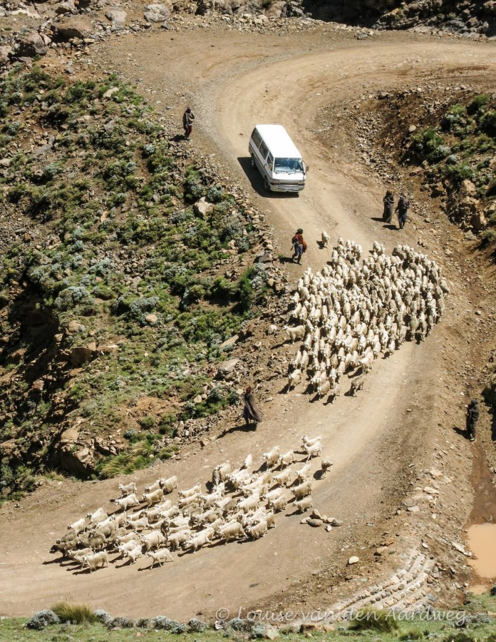 Goats on dusty road Sani Pass