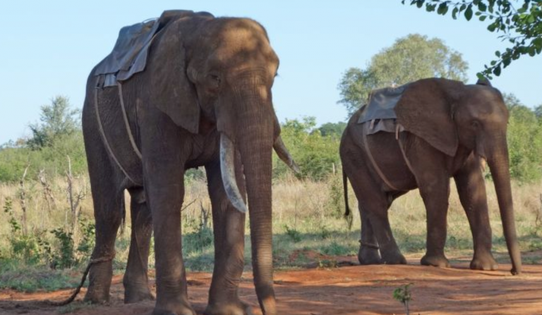 Elephant Riding in Africa. Is Tourist Fun Also Animal Cruelty?