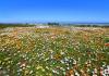 Langebaan Flowers