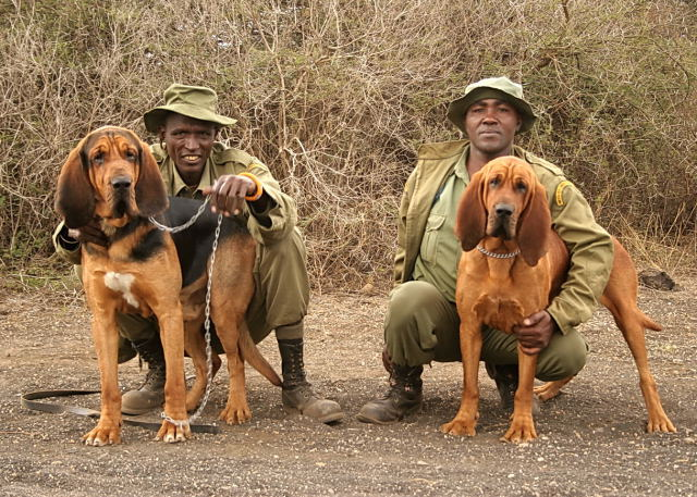 Bloodhounds Against Poachers