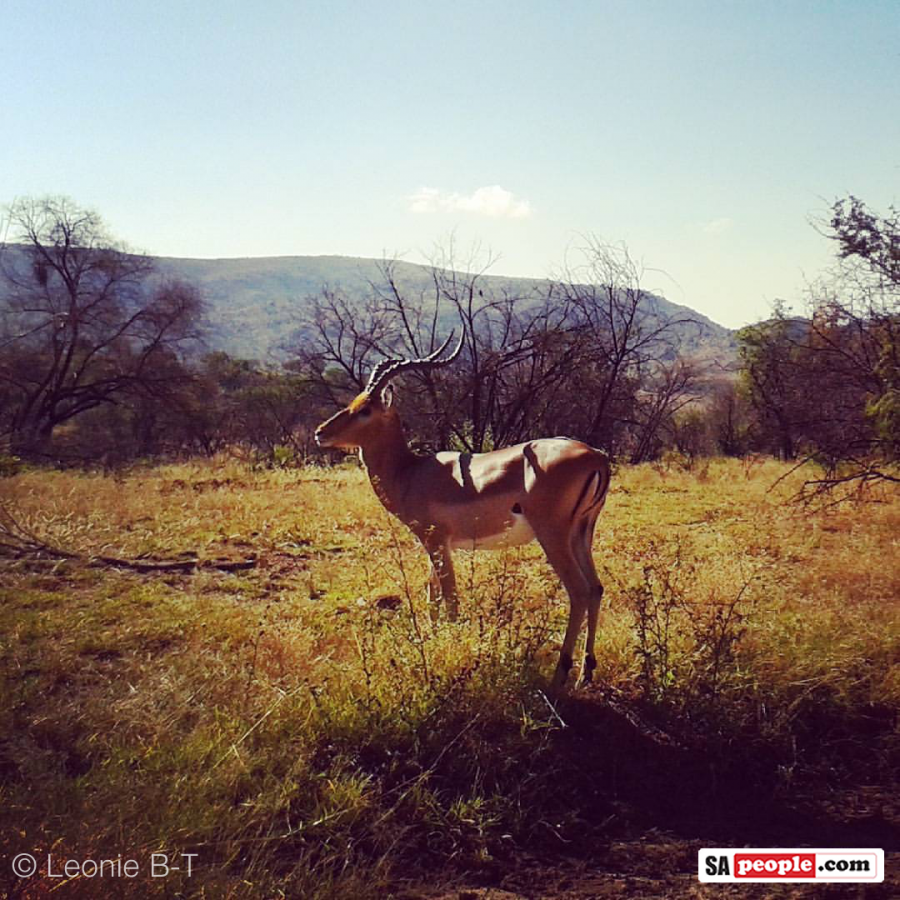 pilanesberg-impala-buck