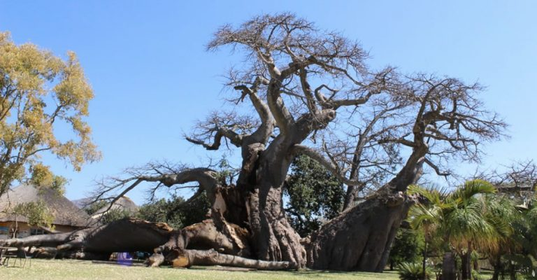 Trunk Breaks on South Africa's World Famous Big Baobab Tree