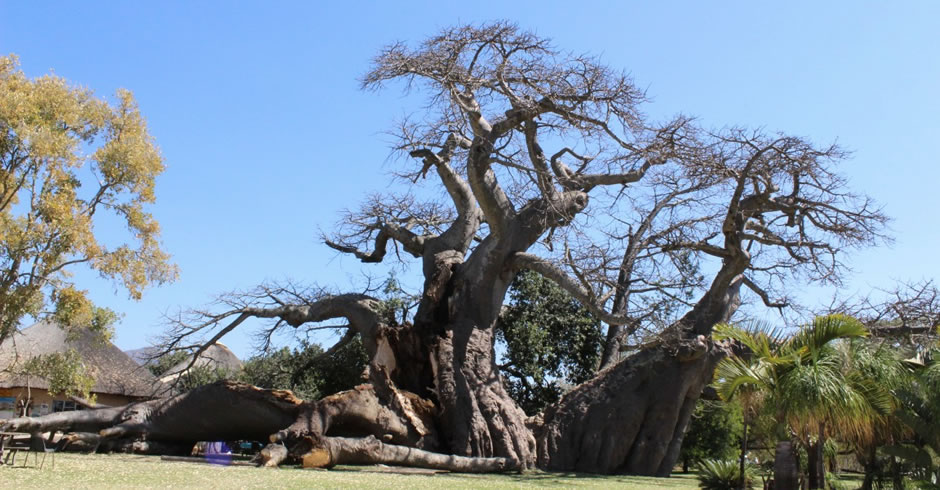 Trunk Breaks on South Africa's World Famous Big Baobab
