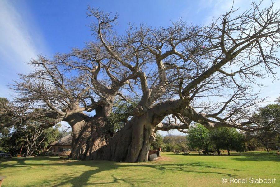 Sunland Baobab before