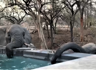 cheetah plains elelephants drinking swimming pool safari south africa