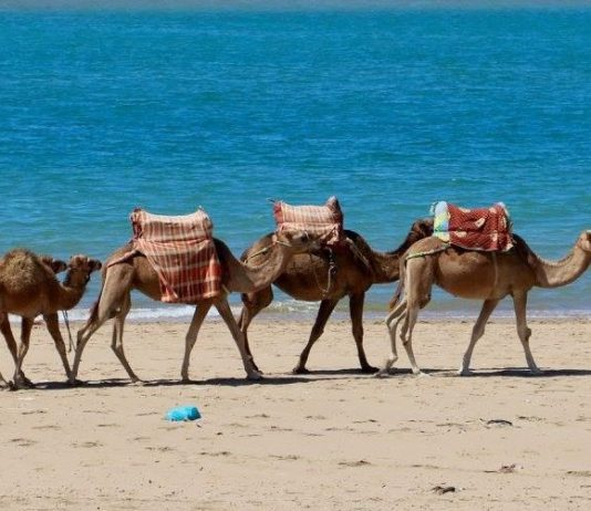morocco bruce marais travel tourism camels beach