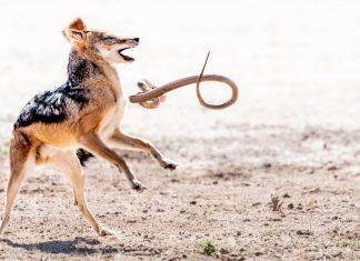 jackal snake lion tree photo competition winner kruger park south africa