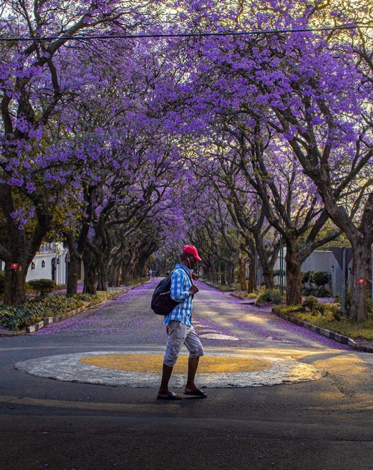 jacaranda johannesburg south africa