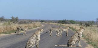 sapeople cheetahs kruger park travel south africa