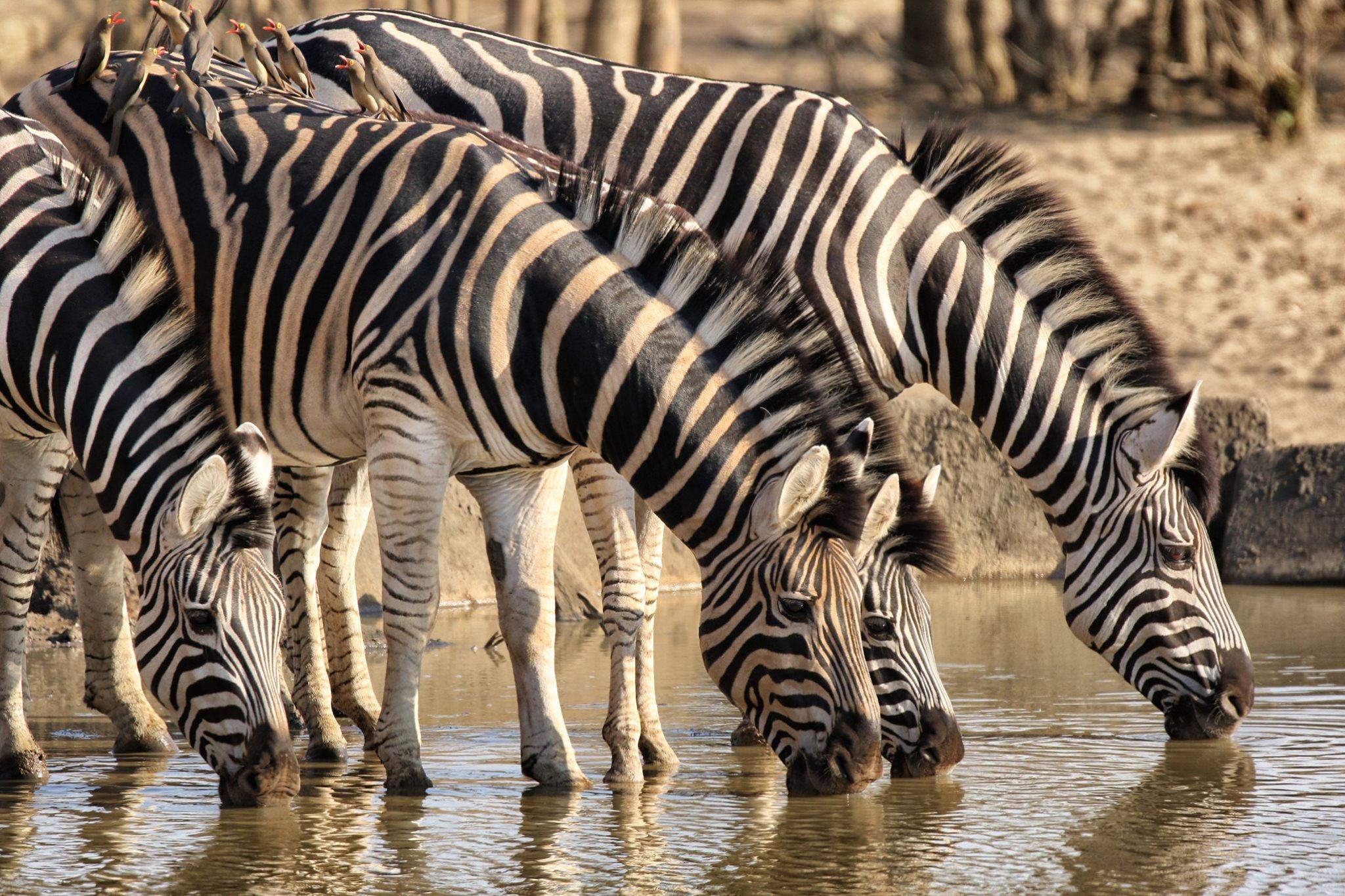 kruger park south africa travel hermien kruger zebra