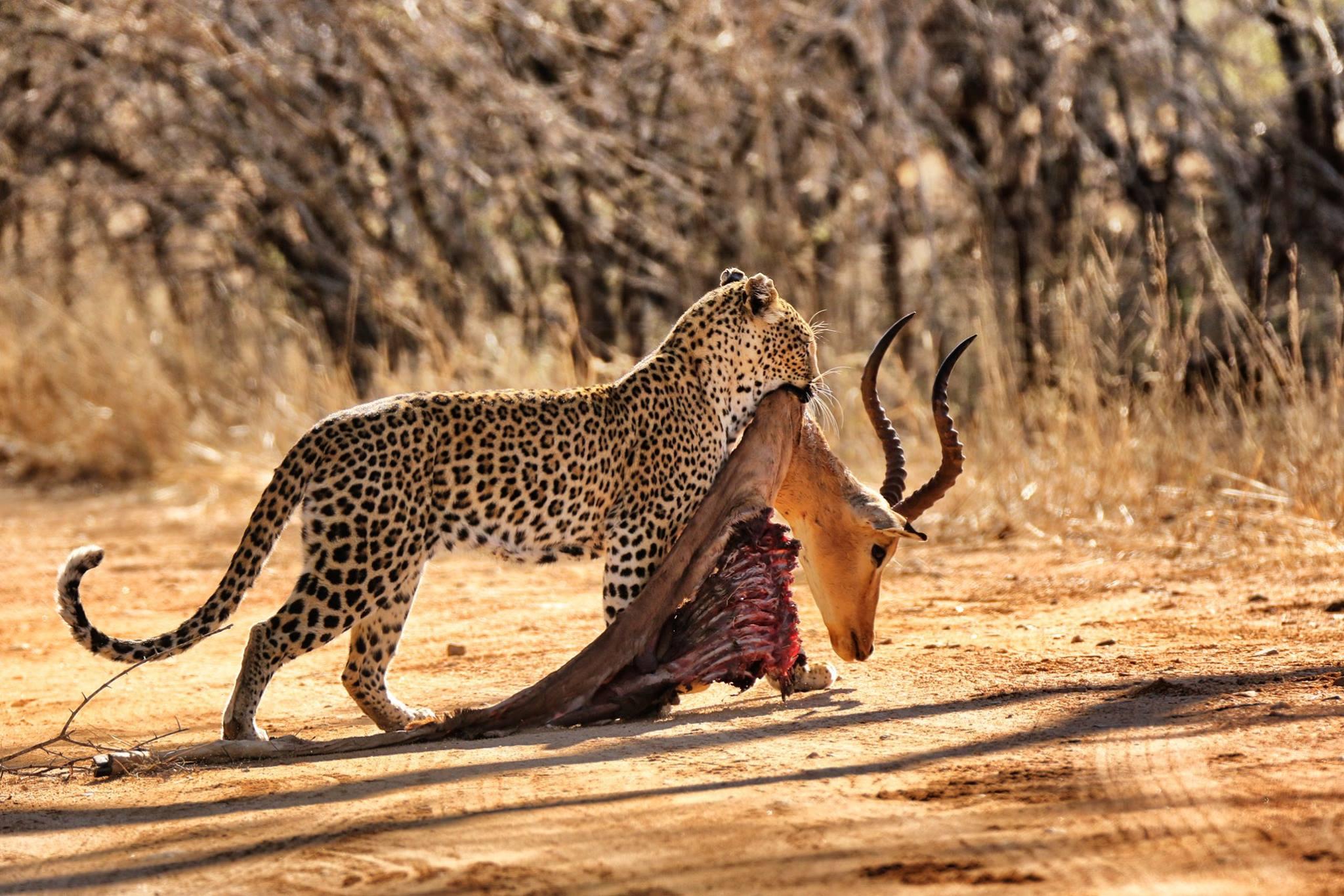 leopark kill kruger park south africa hermien grobler