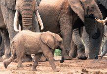 sheldrick wildlife trust kenya elephants