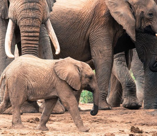sheldrick wildlife trust kenya elephants