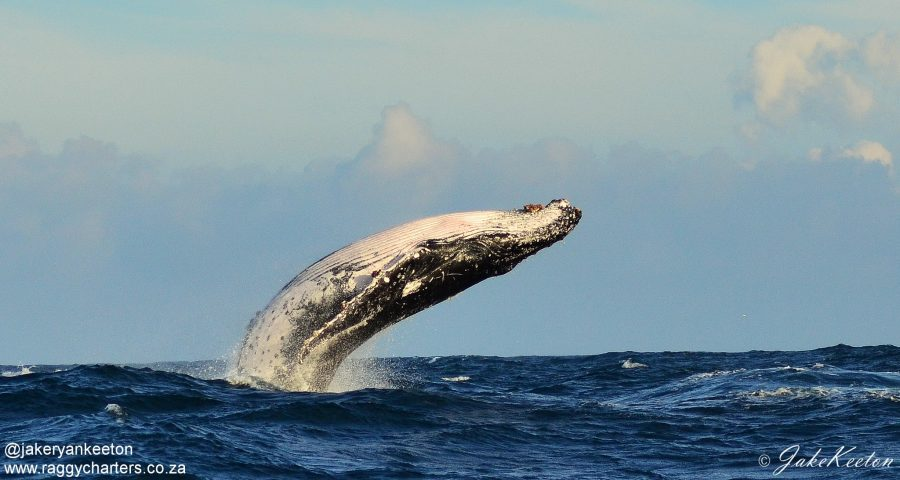 whale south africa western cape