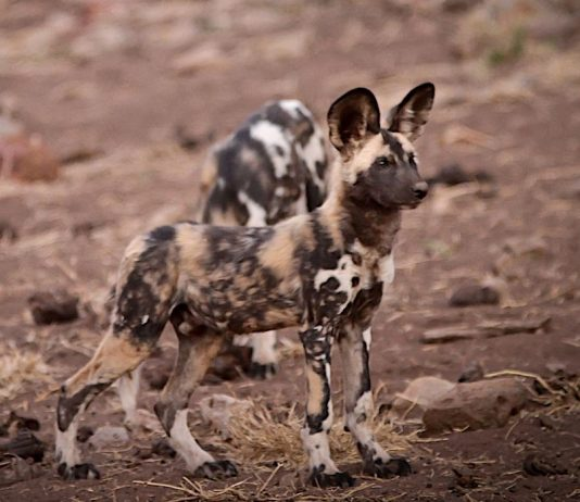 african wild dog madikwe south africa travel