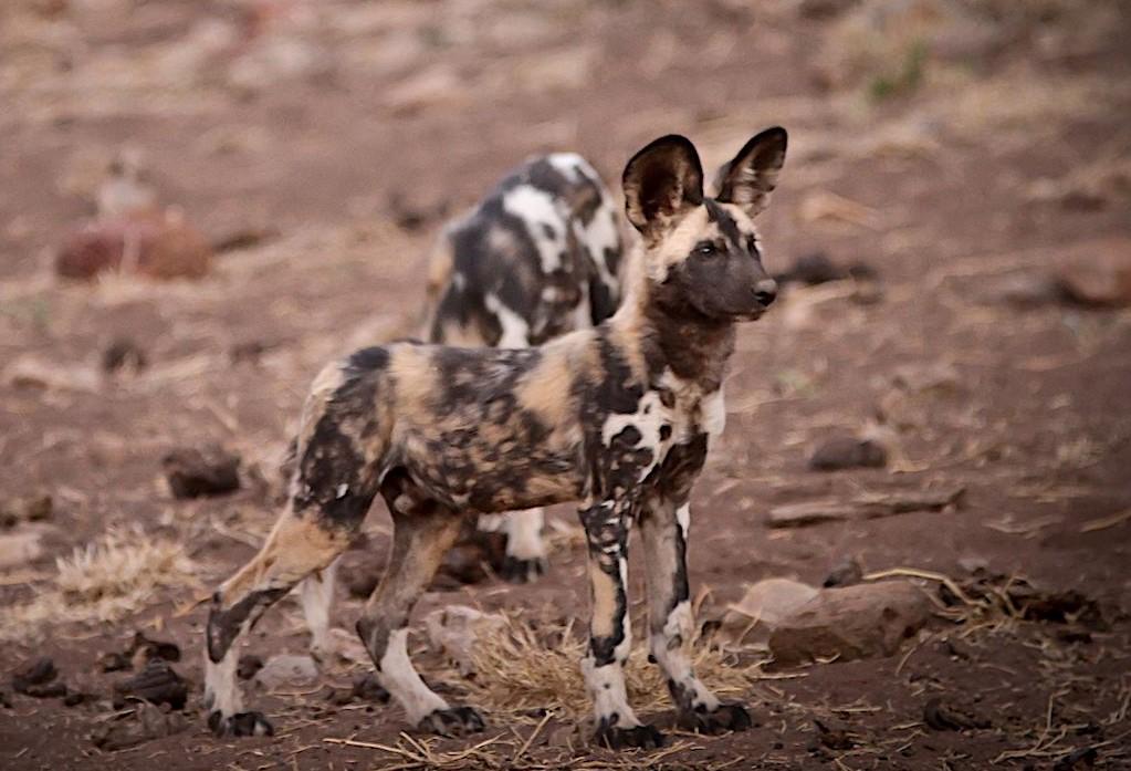 african wild dog madikwe south africa travel