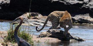 leopard kruger national park travel