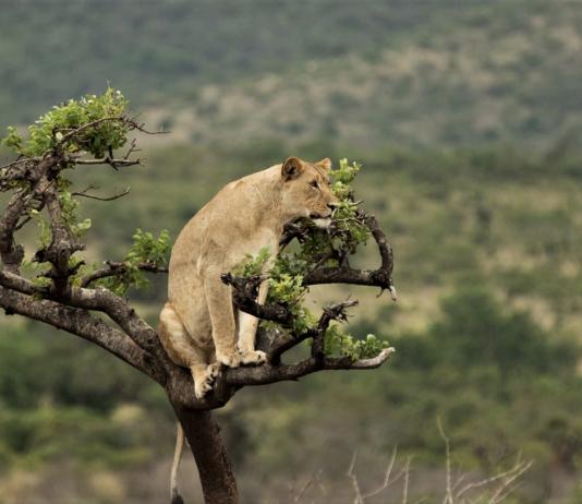 akagera park rwanda lion