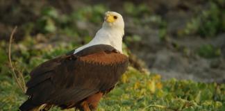 eagle luangwa zambia travel robin pope