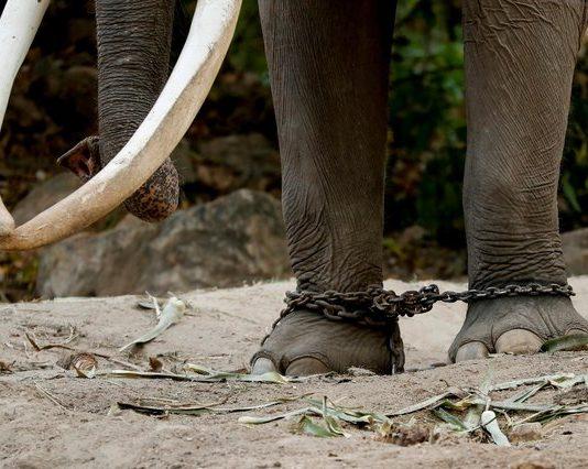 elephant travel thailand abta welfare guidelines animal