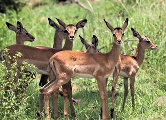 impalas run over by speeding car in kruger national park