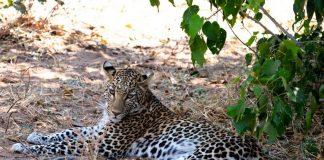 leopard south africa national park