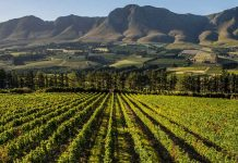 newton johnson hermanus south african vineyard