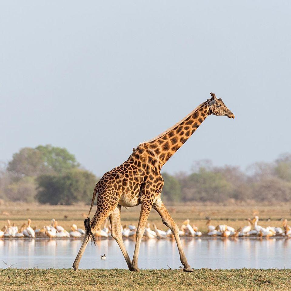 kordofan giraffe zakouma chad travel safari
