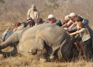 rhino conservation kings camp tiimbavati south africa