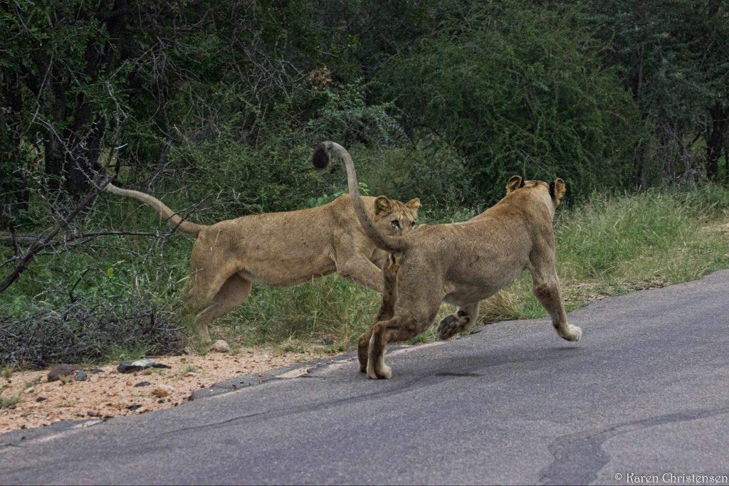 lions kruger park south africa
