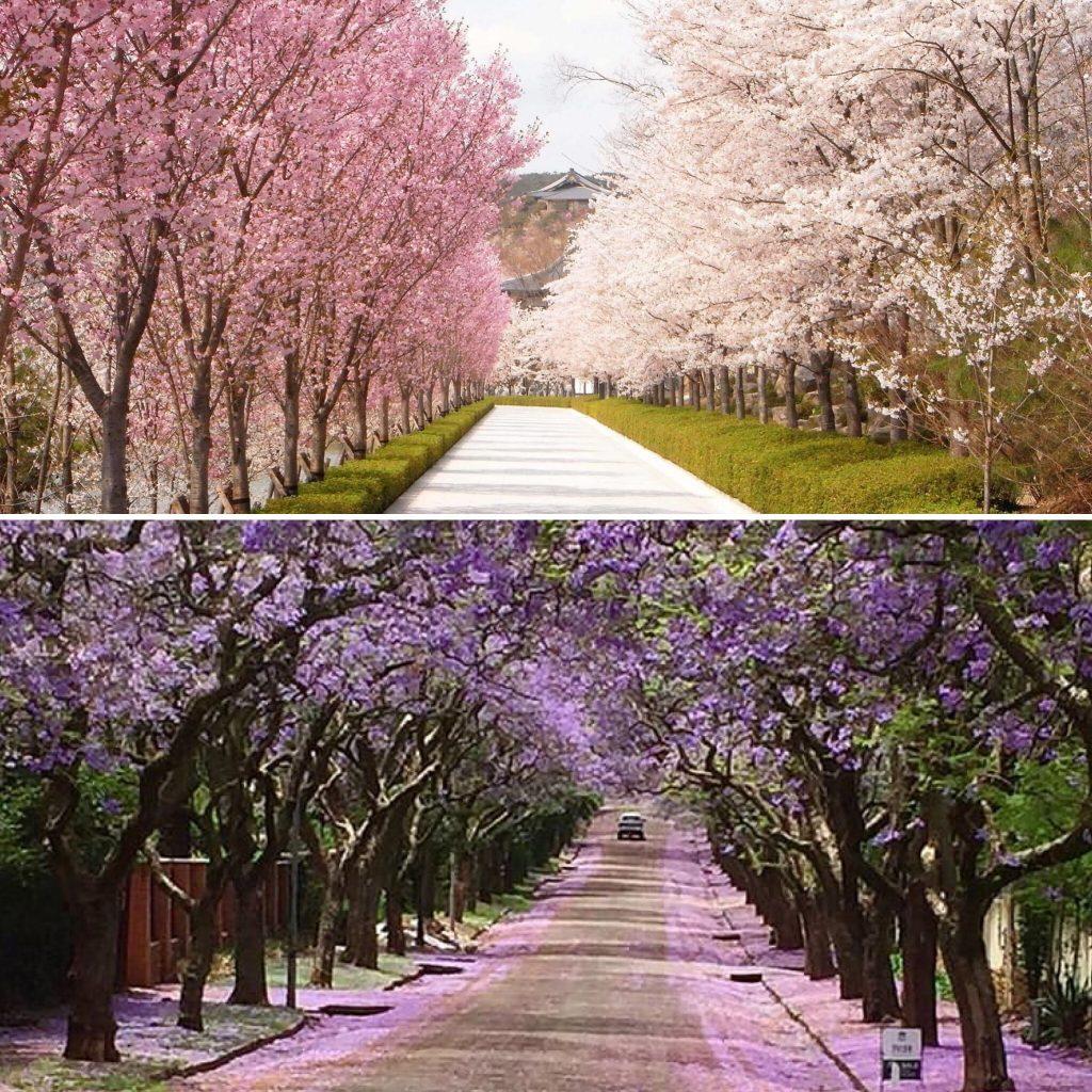 cherry blossoms tokyo jacarandas johannesburg travel split picture