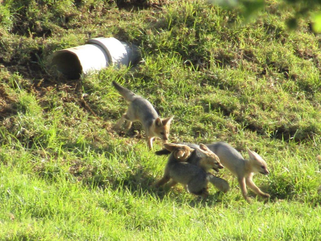 Cape Fox family at play