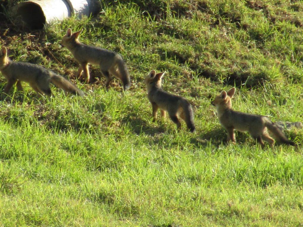 Cape Fox family vergelegen