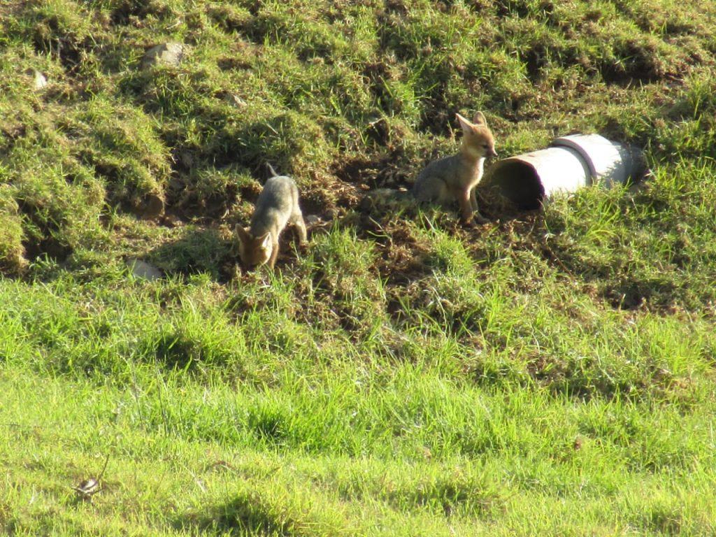 Cape Fox vergelegen south africa