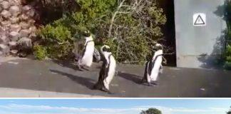 penguins stroll simonstown street