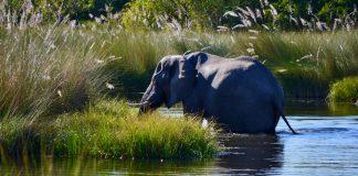 elephant africa botswana