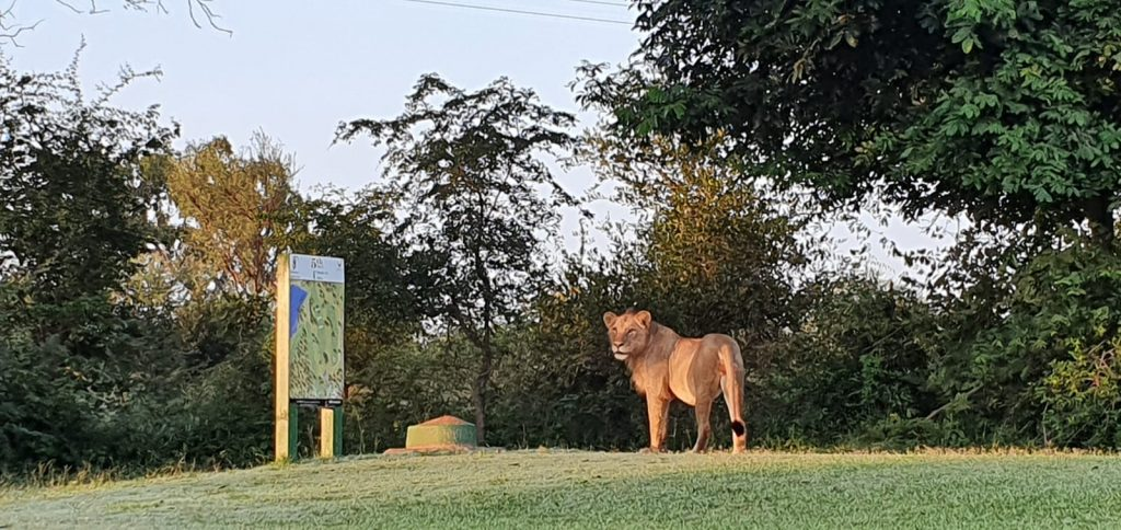 lion golf course lockdown kruger