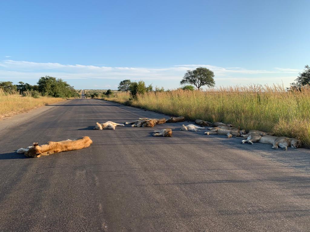 lions sleep road kruger