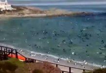 sardine-run-birds-langebaan