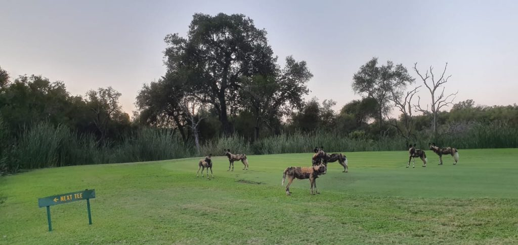 wild painted dogs skukuza kruger golf lockdown