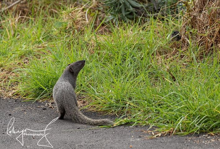 mongoose cape town