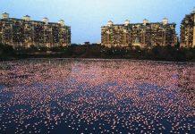 flamingos mumbai india thousands travel