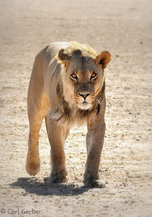 kglagadi park south africa lion