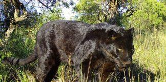 leopard black panther shamwari reserve south africa