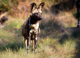african wild dog painted dog tintswalo lapalala south africa