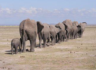 amboseli kenya elephants tourism