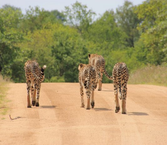 cheetah-kruger park open pix
