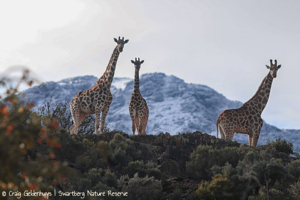 giraffe snow swartberg nature reserve south africa