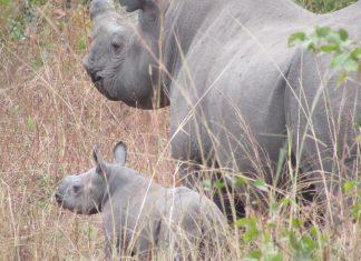 rhino baby calf black malawi liwonde
