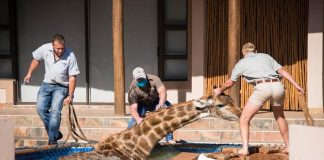 giraffe rescued from swimming pool